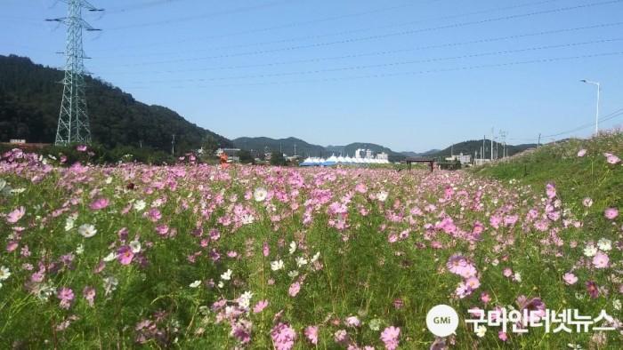 [장천면]「제13회 장천 코스모스 축제」20일 개최5(코스모스정경).jpg